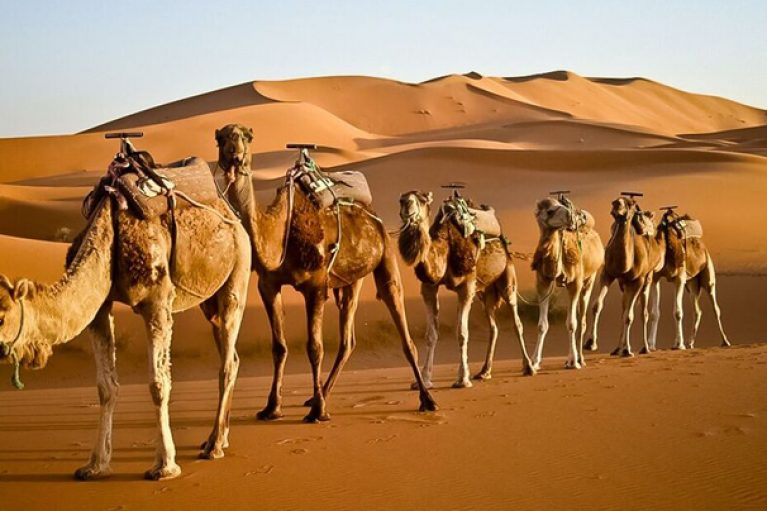 Camels in the Moroccan desert